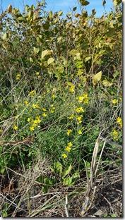 Schmalblättriges Doppelsame (Diplotaxis tenuifolia)